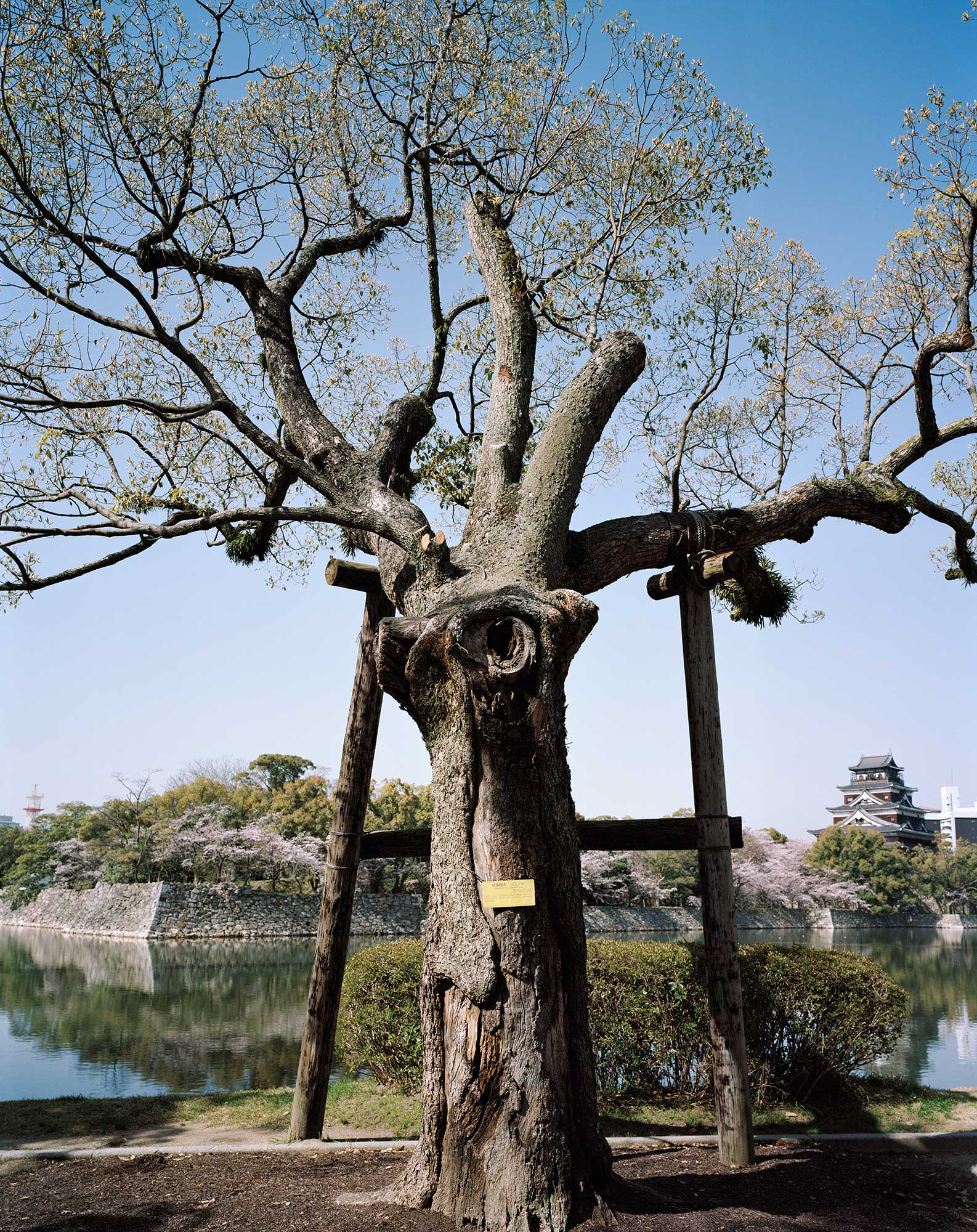 A-bombed Camphor Tree Across The Moat from Hiroshima Castle, 1200 meters from the hypocenter, April 2013, Chromogenic print, 30 x 40 inch.