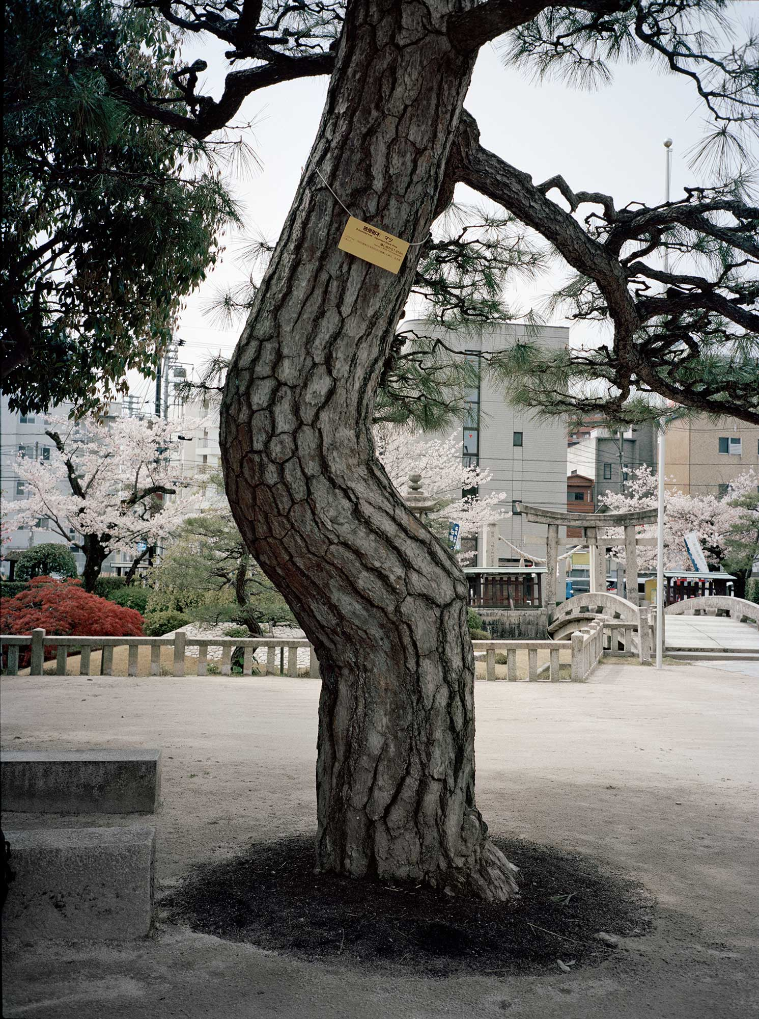 A-bombed Japanese Black Pine Tree, Tsuruhane Shrine, Hiroshima, 1810 meters from the hypocenter, 2008, Chromogenic print, 30 x 40 inch.