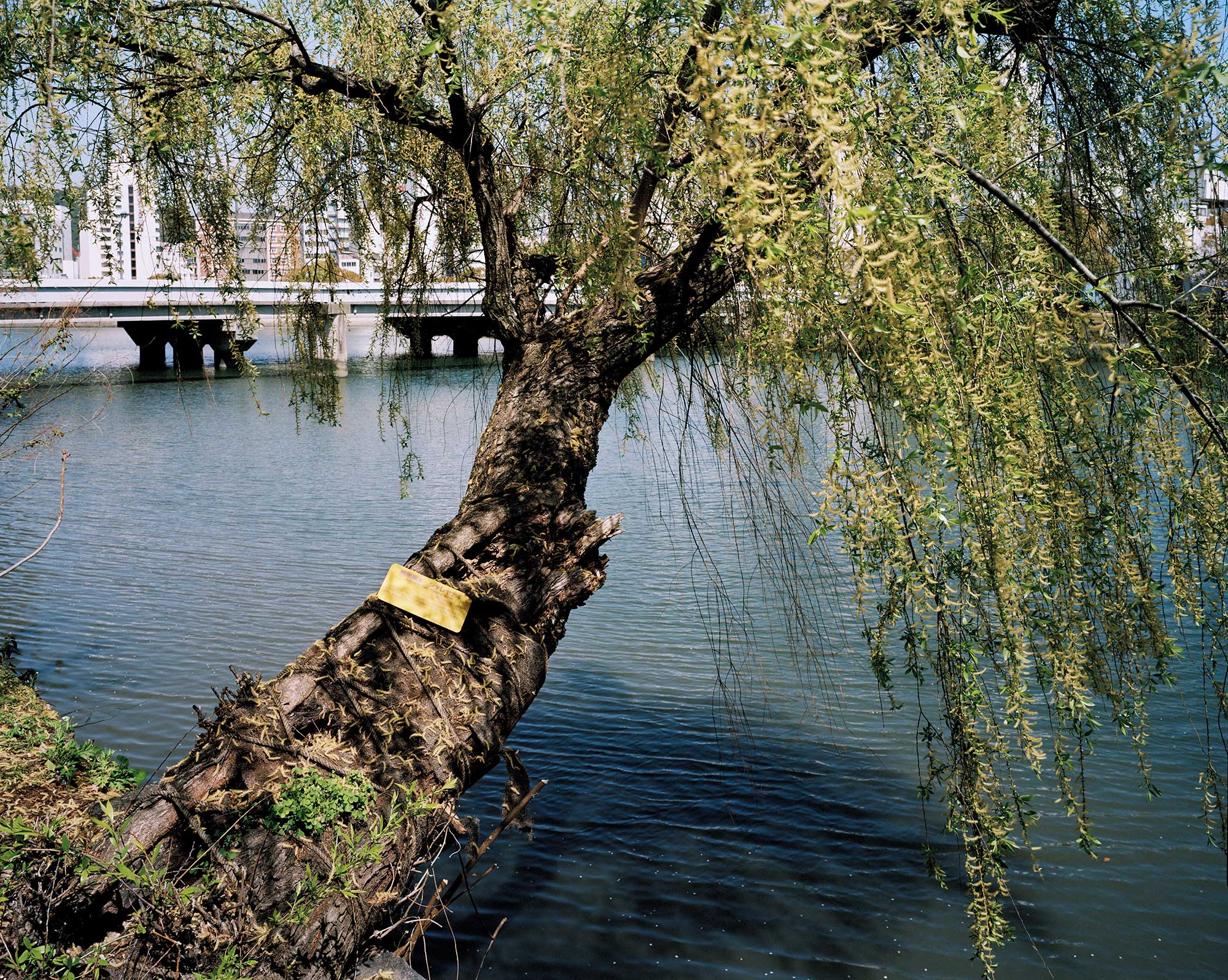 A-bombed Weeping Willow Tree, Hiroshima, 1400 meters from the hypocenter, 30 x 40, Chromogenic Print, 2013.