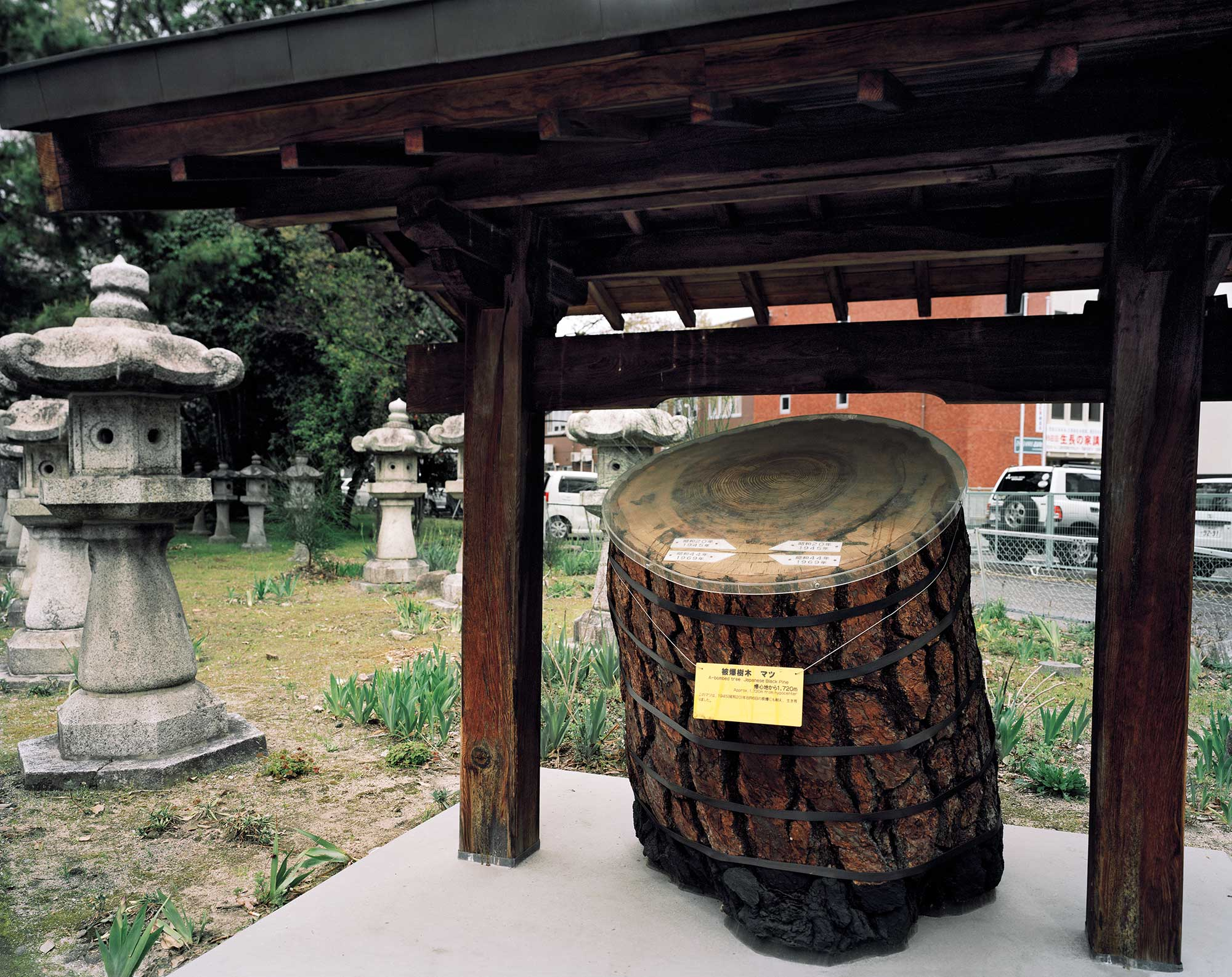 A-bombed Japanese Pine Tree, Nigitsu Shrine, Hiroshima, 1720 meters from the hypocenter, 2013, Chromogenic print, 30 x 40 inch.