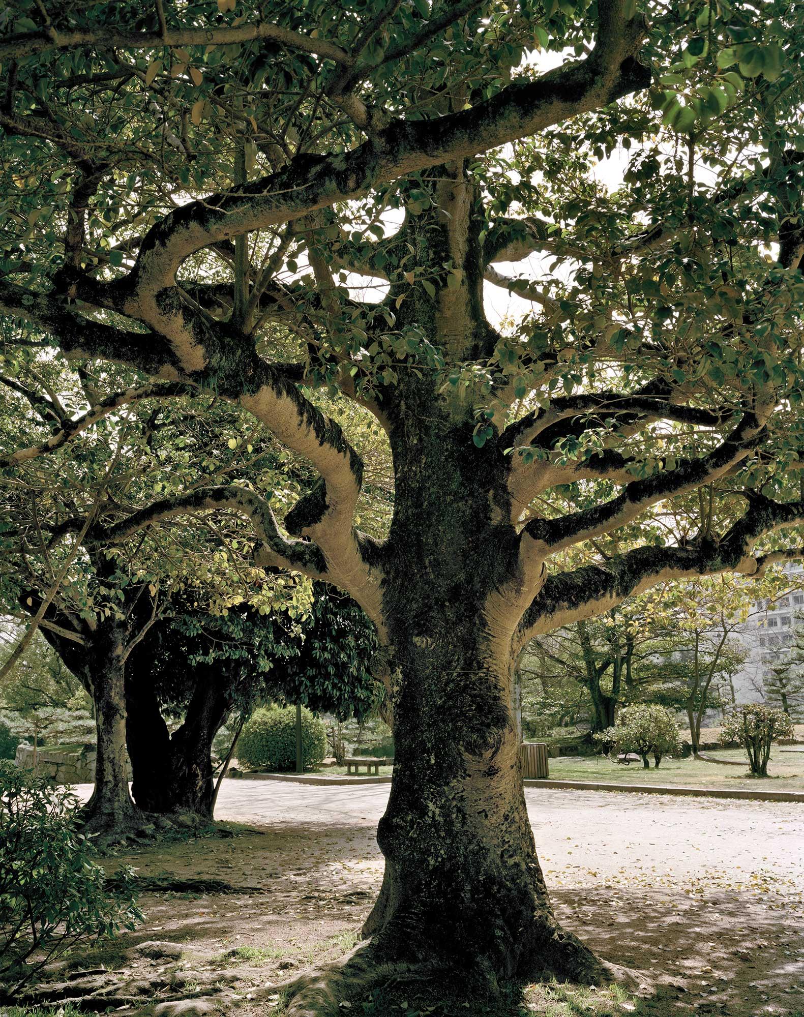 A-bomb Kurokane Holly Tree Near Hiroshima Castle, Approximately 910 meters from the Hypocenter, 30 x 40, Chromogenic Print, 2013.